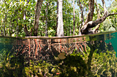 Jellyfish in Mangrove Area, Mastigias papua etpisonii, Jellyfish Lake, Micronesia, Palau