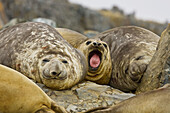 Newborn southern elephant seal (Mirounga leonina)