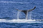 Adult humpback whale (Megaptera novaeangliae)