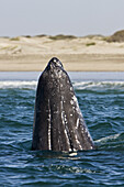 California Gray Whale calf (Eschrichtius robustus)