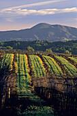 Morning light over vineyard in winter, along Dry Creek Road, Sonoma County, California