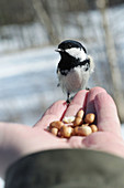 Coal tit (Parus ater) sitting on a hand ready to take a peanut.