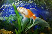 Fishes, Pisces, Aqurium, India