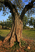 Olive tree, Soneja. Alto Palancia, Castellon province, Comunidad Valenciana, Spain