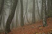 Maritime Pine (Pinus pinaster) forest, Monte Pina. Alto Palancia, Castellon province, Comunidad Valenciana, Spain