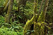 Nurse stump- mossy old stump with red alder tree