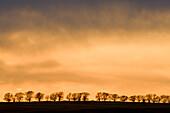 Line of cottonwood tree silhouettes on ridge at sunset