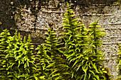 Epiphytic mosses on red alder tree bark
