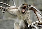 Barbary Macaque (Macaca sylvanus) having a yawn, Edinburgh Zoo, Scotland, UK