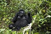 Mountain Gorilla (Gorilla gorilla berengei). Virunga. Rwanda