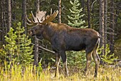 Jasper National Park, Alberta, Canada: A male moose (Alces alces) prowles the edge of the forest looking for a mate. The European name for the largest species in the deer family is Elk.