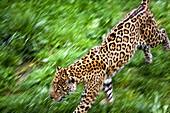 Jaguar (Panthera onca) in motion