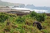 Water buffalo grazing at the coast, Green Island, Taitung County, Taiwan, Asia