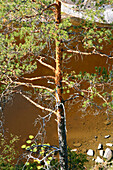 Tree at the shore of an uninhabited island in the sunlight, Saimaa Lake District, Finland, Europe
