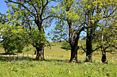 Pasture with old ash trees in the sunlight, Arzmoos, Sudelfeld, Bavaria, Germany