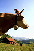 Cow with bell in front of landscape with alpine hut, Arzmoos, Sudelfeld, Bavaria, Germany