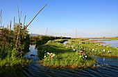 Floating gardens of the Intha people under blue sky, Inle Lake, Shan State, Myanmar, Burma, Asia