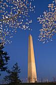 Cherry blossoms frame the Washington Monument in predawn light, Washington D C, U S A