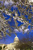 Cherry blossoms, U  S  Capitol, Washington D C, U S A