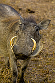 Warthog, Hoedspruit Endangered Species Centre, near Kruger National Park, South Africa