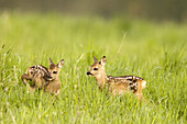 Couple of fawn, roe deer (Capreolus capreolus), standing in meadow, Franconia, Bavaria