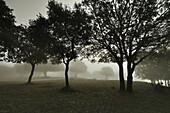 Bosque de encinas (Quercus ilex) entre la niebla; Sierra del Monsec; Vilanova de Meia; Lérida; Cataluña; España