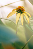Yellow Coneflower. Echinacea paradoxa. July 2007, Maryland, USA