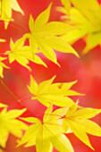 Yellow Japanese Maple Leaves, Red Background. Acer palmatum. November 2006, Maryland, USA