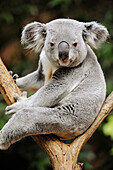 Koala bear (Phascolarctos cinereus) captive