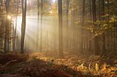 France, Lyon-the-forest, sunshine between beech