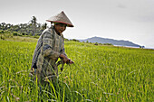 INDONESIA  Irawati, a woman farmer weeding her rice field in Blang Situngkoh, Pulo Aceh, Aceh  This will be the first rice harvest since the tsunami  2 years after the Tsunami