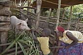 UGANDA  In the home of farmer Najjemba Teopista, Kasaayi village, Kayunga District  Kevin, 5, feeding the pig