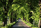 D, Germany, Europe, Mecklenburg Western Pomerania, Rügen, Ruegen, Baltic Sea, Alley, Spring, Springtime, Landscape, Chestnut, Street, Chestnutalley, Cobblestone Pavement