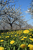 D, Germany, Brandenburg, Werder a d  Havel, Blossoming, Blossom, Spring, Bloom, Blooming, Botany, Crop, Crops, Meadow, Flower, Flowers, Dandelion, Landscape, Wildflower, Springtime, Cherry Blossom