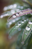 Canada, BC, Ladner  Waterdrops on euphorbia plant in residential garden