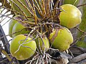 Coconuts on tree  Cocos nucifera, used in cooking and for oil  Chiplun, Ratnagiri, Maharashtra india Maharashtra, India