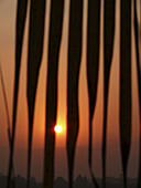 Sunset against palm fronds, Cocos nucifera - Commenly called Coconu  Chiplun, Ratnagiri, Maharashtra, India