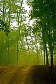 Sunrays shining through spruce forest  Ratnagiri, Maharashtra, India