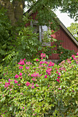 Dog roses in front of a red wooden house under a big tree.