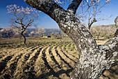 Almond trees. Mieza, Arribes del Duero natural Park, Salamanca province. Castile-Leon. Spain