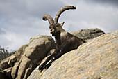 Male mountain goat or spanish ibex, in the Natural Park of the Cuenca Alta del Manzanares, La Pedriza, Navacerrada, Sierra de Guadarrama, Madrid, Spain, Europe.