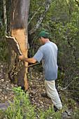 A worker removing the cork from a cork oak in the Valle de Las Batuecas, inside the Las Batuecas-Sierra de Francia Natural Park, Sierra de France, in the province of Salamanca, Castilla y Leon, Spain