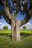 Oak in the cereal steppe  Farms with cultivation of cereal  Agriculture in the province of Salamanca  Castilla y Leon  Spain
