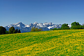 View over meadow with dandelion to Tannheim range, Allgaeu Alps, Allgaeu, Swabia, Bavaria, Germany