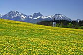 Blick über Löwenzahnwiese auf Kirchturm, Allgäuer Alpen, Allgäu, Bayern, Deutschland