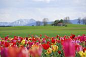 Blick über Tulpenfeld auf Bergkulisse, bei Holzkirchen, Oberbayern, Bayern, Deutschland
