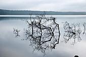Bare branches in lake Werbellinsee, Eichhorst, Schorfheide, Brandenburg, Germany