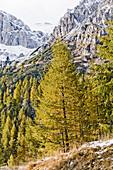 Conifers, snow-covered Dolomites in background, Trentino-Alto Adige/Südtirol, Italy