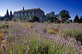 Blooming lavender field under blue sky, Hvar island, Croatian Adriatic Sea, Dalmatia, Croatia, Europe