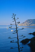 Vegetation, rocky coast and ocean under blue sky, Cinque Terre, Liguria, Italian Riviera, Italy, Europe